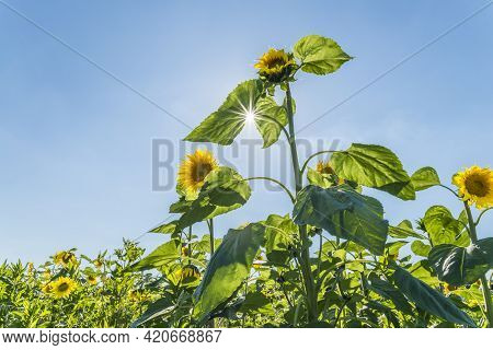 Sunflowers At A Sunny Summer Day With Sunbeam Through The Leaves