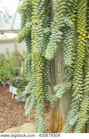 Sedum Morganianum (donkey Tail Or Burro\'s Tail) - A Species Of Flowering Plant In The Family Crassu