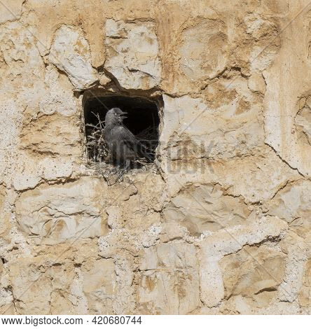 A House Crow In Its Nest, Built In A Stone Wall In Jerusalem, Israel.