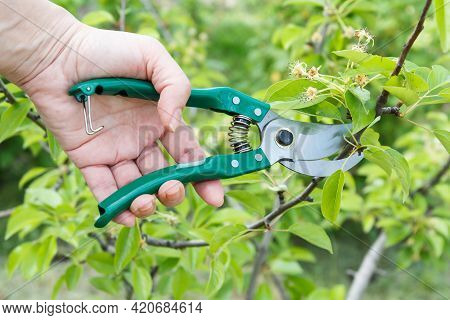 Female Farmer Looks After The Garden. Spring Pruning Of Fruit Trees. Woman With A Pruner Shears The
