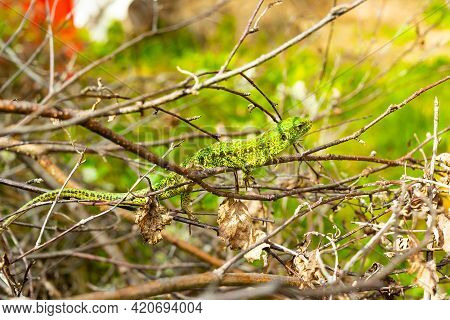 Green Lizard Hides In The Forest Among Trees And Stones During The Day