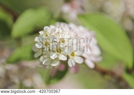 Spring-summer Background - White Inflorescences Of Bird Cherry. Pistils And Stamens With Pollen. Sel