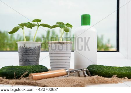 Fertilization Cucumber Seedlings On Windowsill. Young Cucumber Plants Sowing In Pots And Bottle Of F
