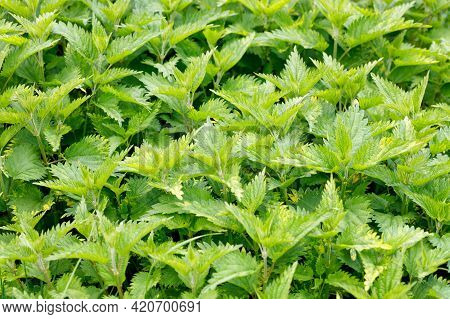 Dense Thickets Of Fresh Green Nettle Leaves. Selective Focus, Close-up, Foreground In Slight Blur.