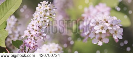 Spring-summer Background - White Inflorescences Of Bird Cherry. Pistils And Stamens With Pollen.