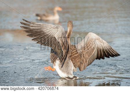 Egyptian Goose Falling Through Thin Ice On A Partially Frozen Lake