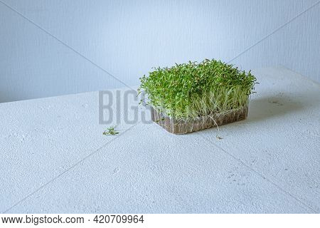 Growing Microgreen Sprouts. Vegan And Healthy Eating Concept.