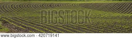 Rows Of Young Corn (zea Mays)  In The Spring. Agricultural Field With Maize Plants In Rows.