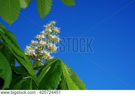 Blooming Horse Chestnut Branch Against Clear Blue Sky. Spring Horse-chestnut Blossom. Symbol Of Kyiv
