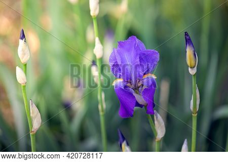 Beautiful Blossoming Bud Of Purple Iris Flower In Spring Garden (soft Focus, Bokeh)