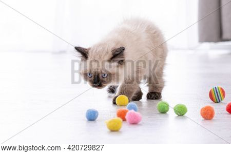 Adorable fluffy ragdoll kitten standing on the floor and looking at colorful balls. Portrait of breed feline kitty pet with toys. Beautiful little purebred domestic cat playing indoors