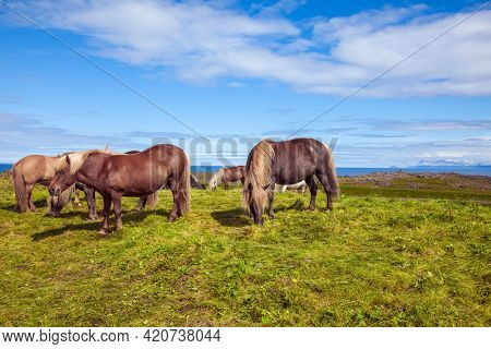 Herd of beautiful horses grazes in the green tall grass of the Icelandic tundra. Only one breed of horse lives in Iceland. Golden summer sunset. Ecological, active and photo tourism concept
