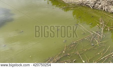 Turtles Invasive Species Natural Park On The Outskirts Of The City Of Barcelona In Spain. El Prat De