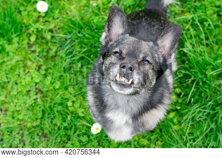 Mixed Breed Dog With An Underbite Is Looking Up. Canine Malocclusion