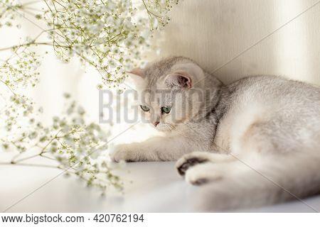 A Beautiful White And Gray British Cat, Green Eyes, Lies On A White Table With A Gypsophila Flower