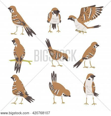 Sparrow As Brown And Grey Small Passerine Bird With Short Tail Vector Set