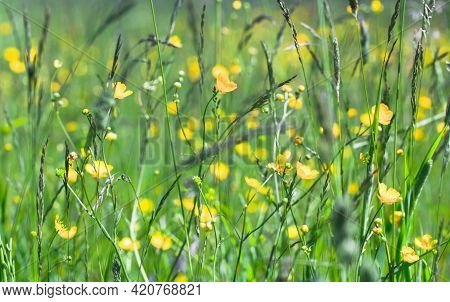 Wild Yellow Flowers Grow On A Meadow On A Sunny Summer Day. Creeping Buttercup, Ranunculus Repens