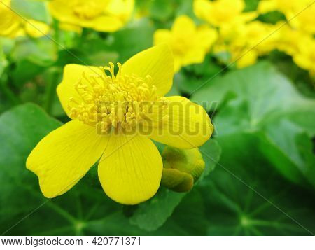 Spring Flowering Marsh Yellow Flowers Marsh Marigold, Other Names (cowslip, Cow Lily, Common Marsh M
