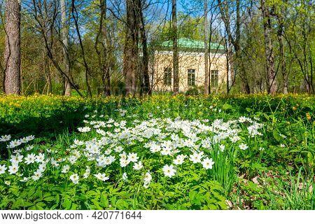 Spring Flowers In Catherine Park, Tsarskoe Selo (pushkin), Saint Petersburg, Russia