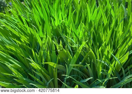Green Fresh Young Wheat Close Up. Young Green Grass In Spring. Fresh Green Grass Close Up Nature Bac