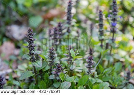 The Common Bugle (ajuga Reptans) Plant Blooming In A Garden