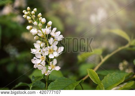 Blooming Branch Of Bird Cherry. White Cherry Blossoms Close-up. Spring