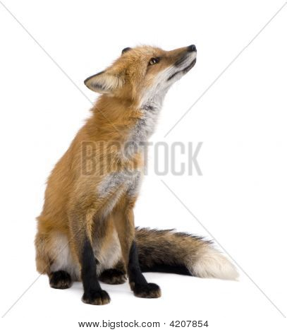 Red fox (4 years) - Vulpes vulpes in front of a white background poster