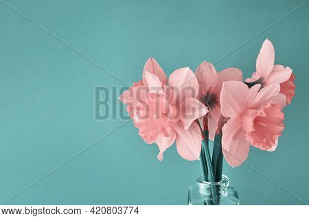 Bouquet Of Pink Narcissus Flowers In Glass Vase On Cyan Background With Copy Space. Creative Daffodi