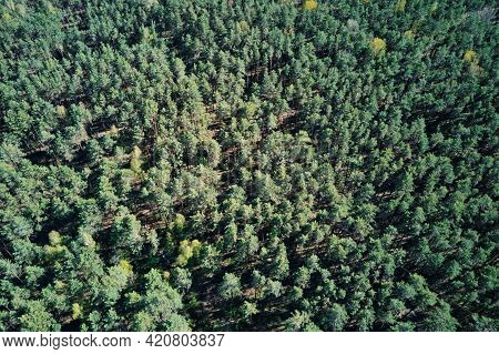 Green Forest, Aerial View. Nature Landscape Of Pine Trees, Bird Eye View. Beautiful Background Of Su