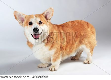 Welsh Corgi Pembroke Is Staying On A Gray Background In The Studio Shooting