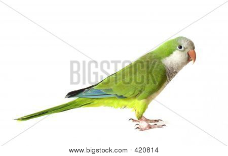 quaker parrot on white background poster