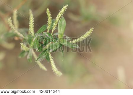A Willow Branch With Green Leaves And Flowers. The Flowering Period Is Spring