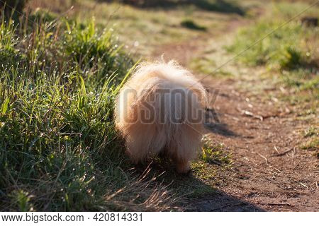 A Small Red Fluffy Dog Pomeranian Pomeranian Is Standing Backwards You Can See The Fluffy Tail On Th