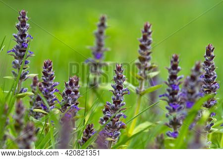 Blue Bugle Flowers (st. Lawrence Plant) Grow In A Meadow Among The Grass. Selective Focus, On A Gree