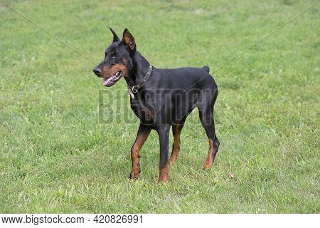 Cute Doberman Pinscher Puppy Is Standing On A Green Grass In The Summer Park. Pet Animals. Purebred