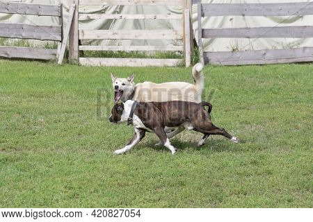 Angry West Siberian Laika Is Aggressively Attacks The American Staffordshire Terrier Puppy. Dog Figh