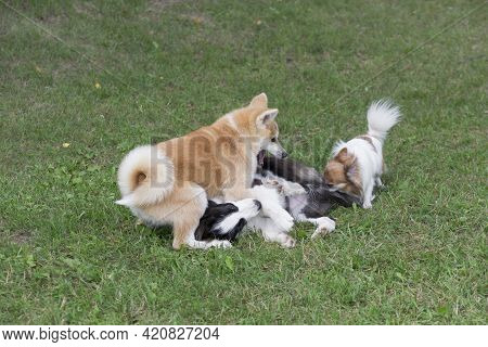 Border Collie Puppy, Akita Inu Puppy And Chihuahua Puppy Are Playing On A Green Grass In The Summer