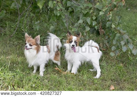 Continental Toy Spaniel Puppy And Chihuahua Puppy Are Standing On A Green Grass In The Summer Park.