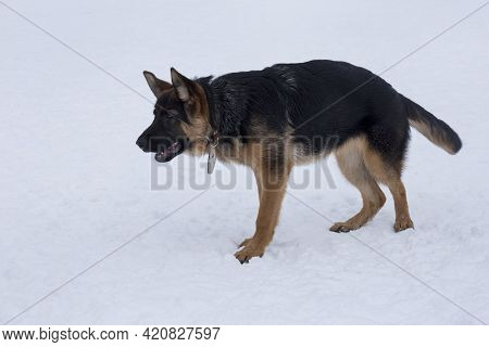 Cute German Shepherd Dog Puppy Is Standing On White Snow In The Winter Park. Four Month Old. Pet Ani