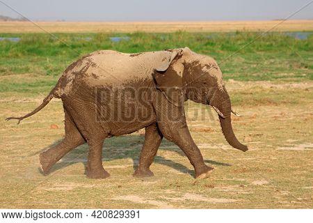 Running African elephant (Loxodonta africana), Amboseli National Park, Kenya