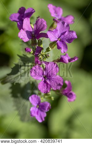 Lunaria Annua, Called Honesty Or Annual Honesty With Purple Flowers On Green Background