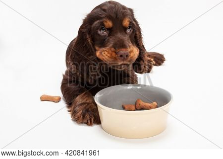 Cute Cocker Spaniel puppy dog looking up from eating boned shaped biscuits in dog bowl