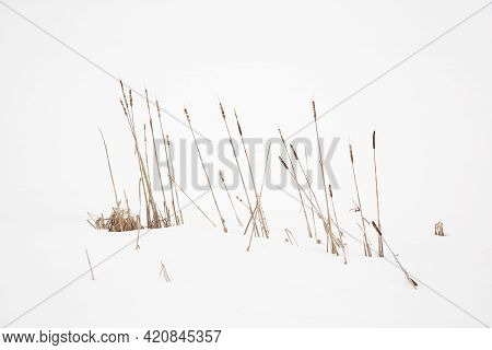 Broadleaf Cattail Typha Latifolia In Snow-covered Winter Landscape, Spitzingsee, Bavaria, Germany