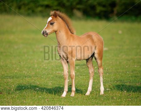 A Shot Of A Pretty Chestnut Welsh Pony Foal.