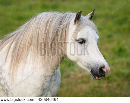 A Head Shot Of A Dapple Grey Welsh Pony In A Paddock.