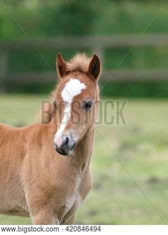 A Head Shot Of A Pretty Chestnut Welsh Pony Foal.