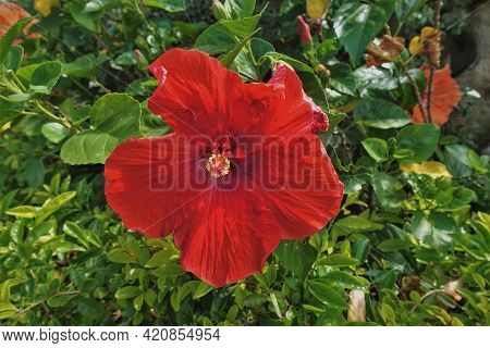 Bright Scarlet Hibiscus, Close-up. The Flower Is Open, In The Center Is A Pistil, Stamens. The Backg