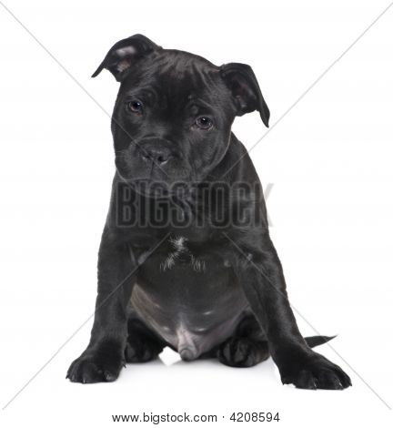 puppy Staffordshire Bull Terrier (2 months) in front of a white background poster