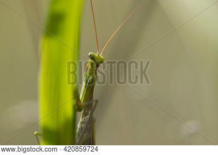 Mantodea. Macro Of Female European Mantis, Mantis Religiosa. Green Praying Mantis, Close Up. Praying