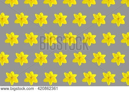 Sunshine Yellow Narcissus Daffodil Pattern On A Grey Background